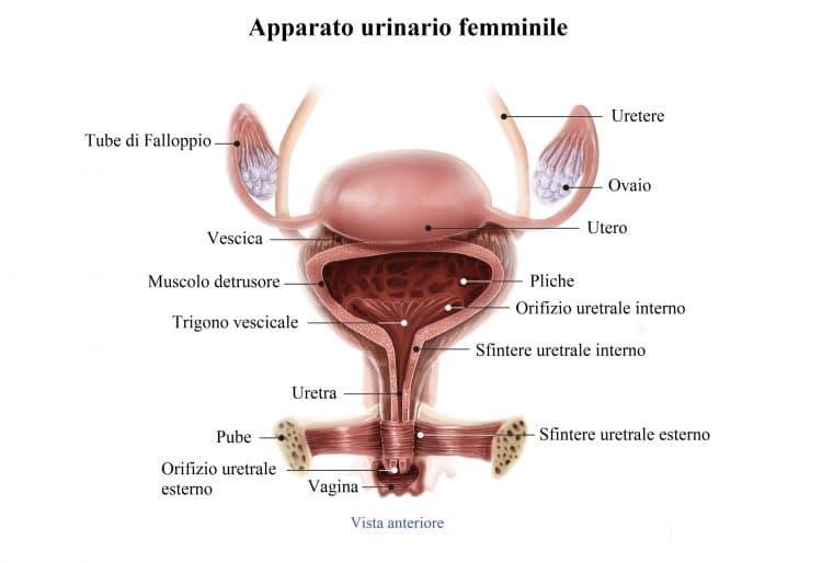 Vescica,utero,ovaie,uretra,sfintere