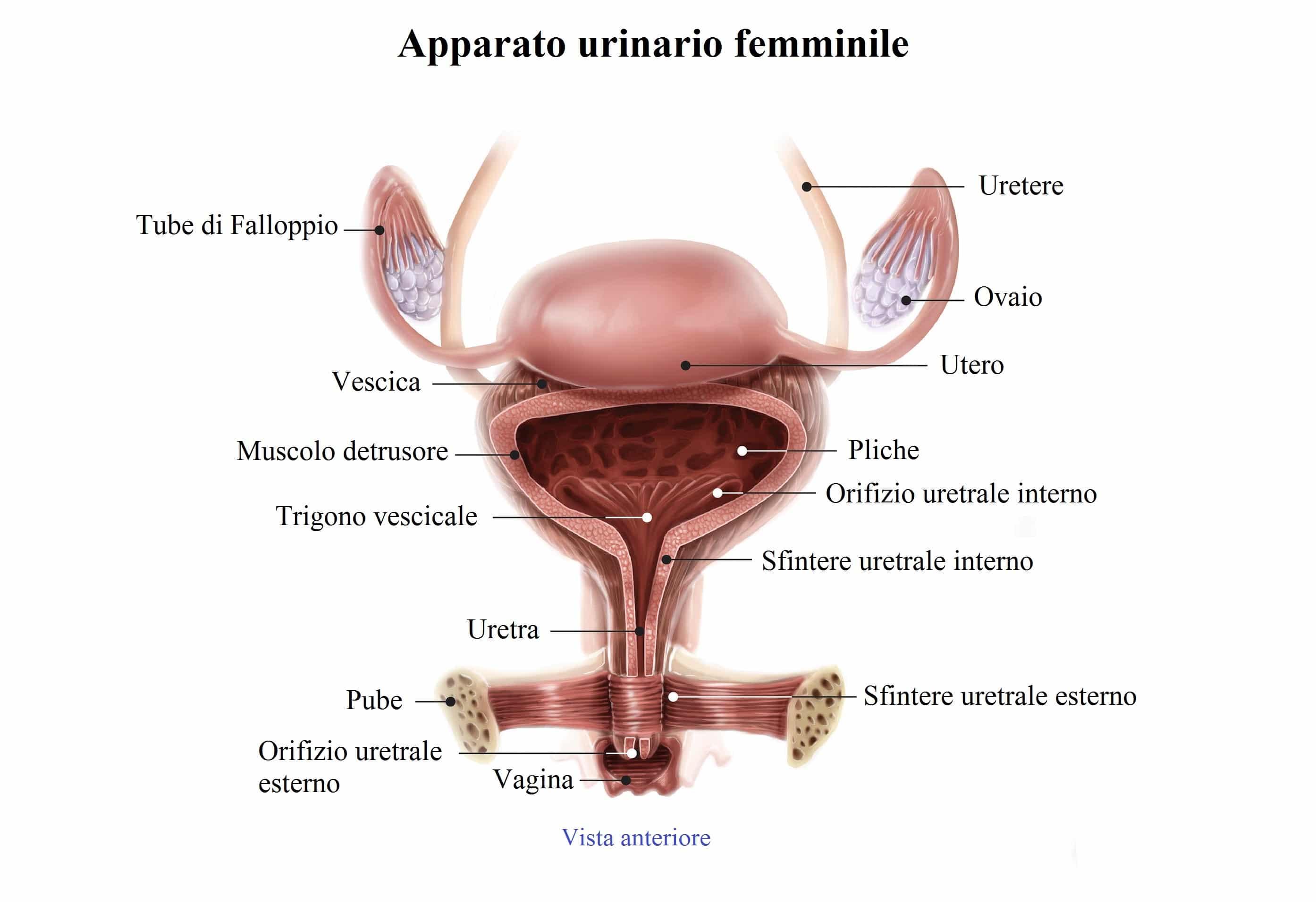 Fotografia apparato genitale femminile 85