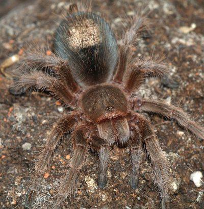 tarantula-cilena