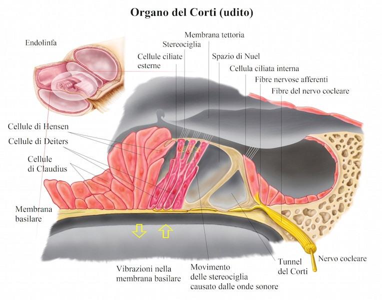 organo del corti, cellule ciliate,sostegno