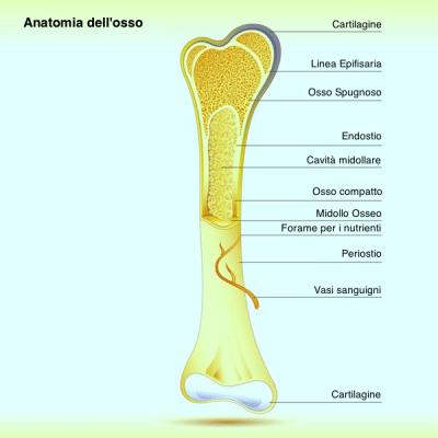 osso,struttura,interno,periostio,frattura,lesione,endostio,epifisi,midollo,spugnoso,compatto