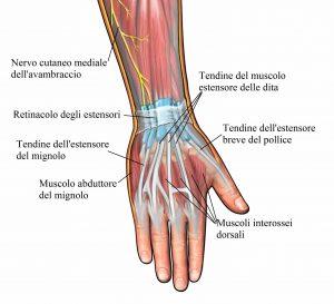 Dita della mano,tendini,estensori