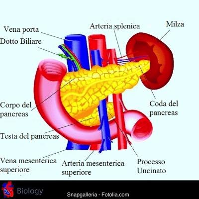 Pancreas,testa,coda,vena cava,fegato,duodeno