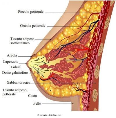 Mammella, anatomia
