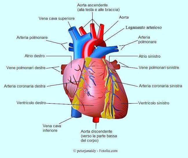 cuore, aorta, coronarie, ventricolo