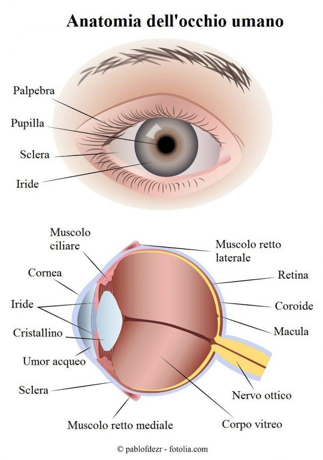 Anatomia-palpebra-occhio