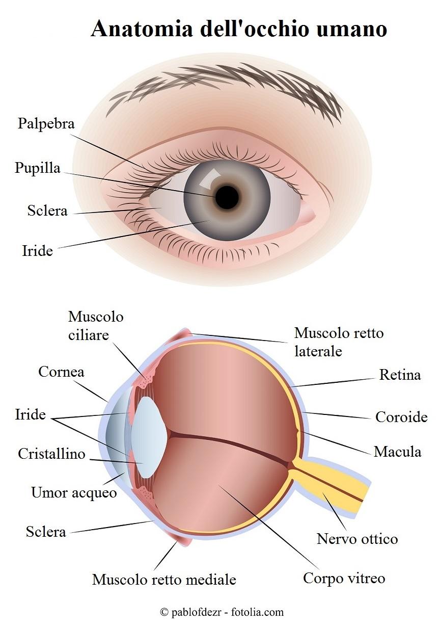 anatomia dell 39 occhio