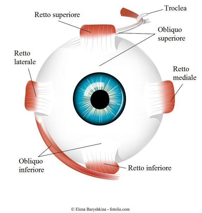 Muscoli-occhio-retto-inferiore-superiore-obliquo