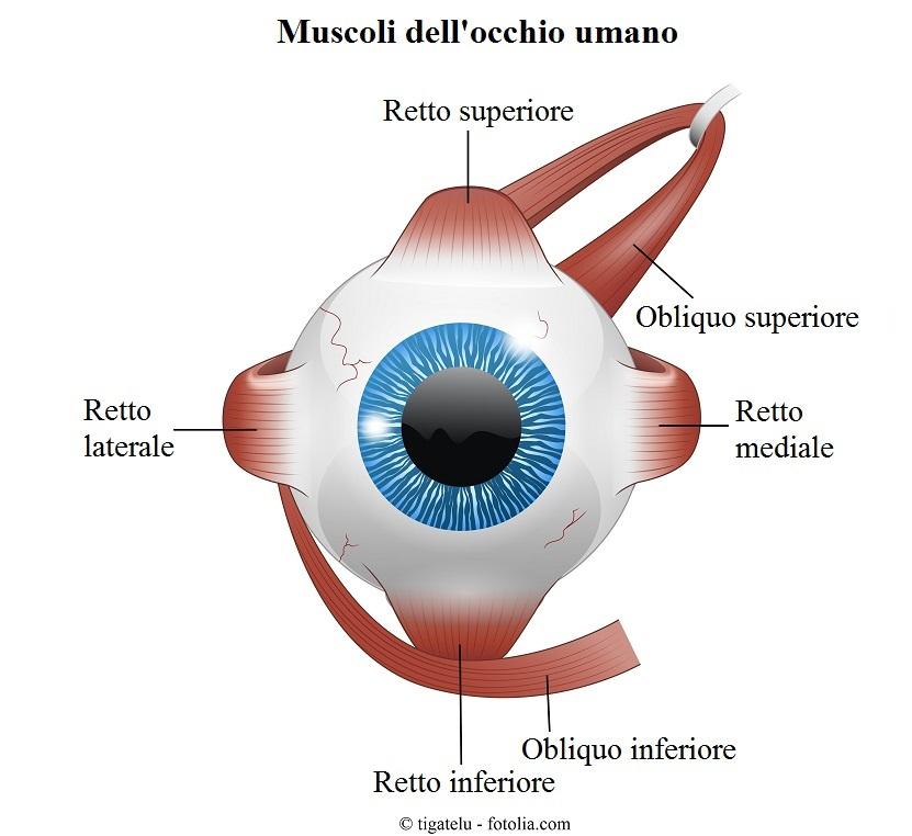 Muscoli-occhio