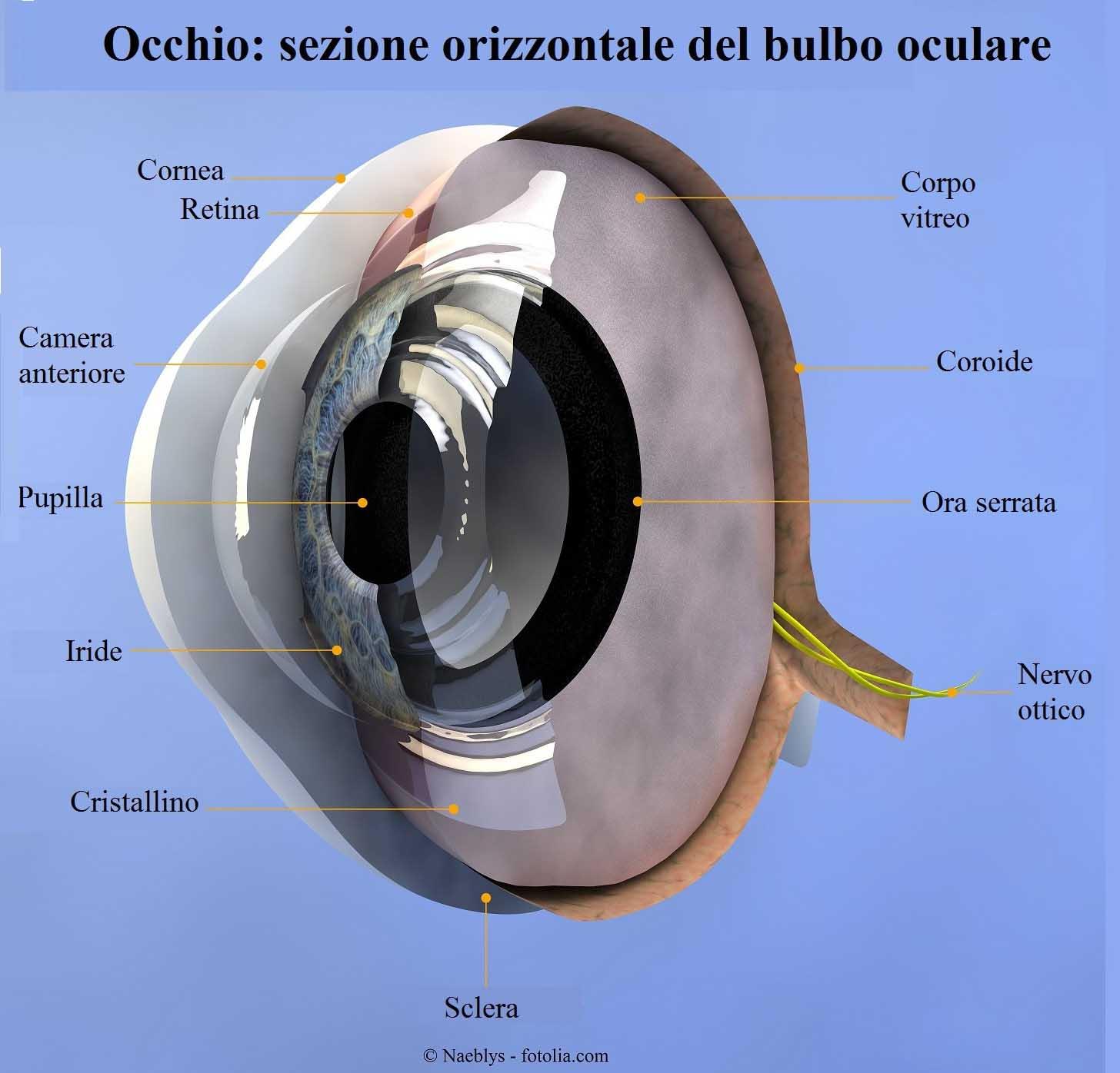 Occhio-cornea-retina-coroide-sclera