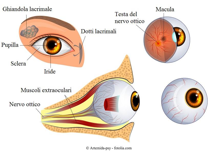 Occhio-sclera-nervo-ottico-ghiandola-lacrimale