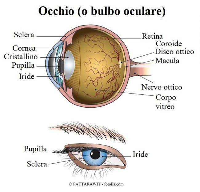 bulbo-oculare