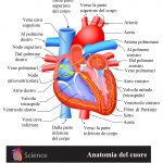 cuore, atrio, ventricolo, nodo sinusale