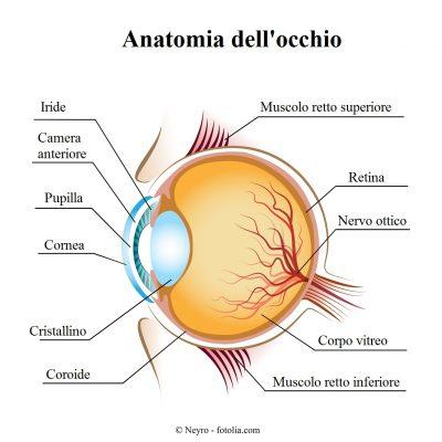 occhio-cornea-pupilla-muscoli