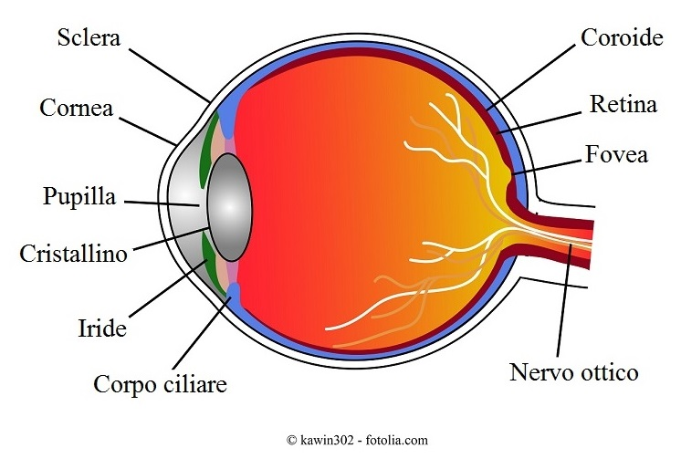 occhio-retina-coroide-fovea