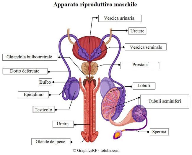 Apparato genitale maschile