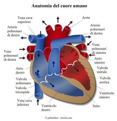 Cuore-anatomia