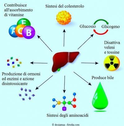 FEgato-tossine-glicogeno-ormoni