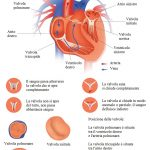Valvole-cardiache-mitrale-tricuspide
