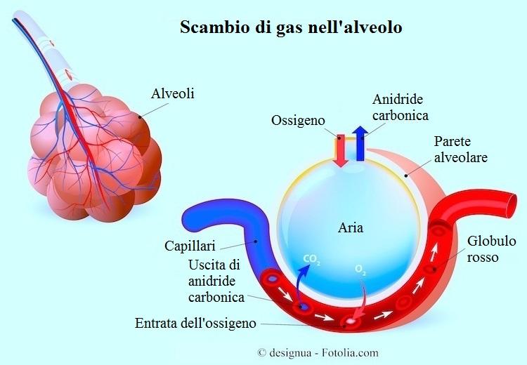 alveolo-ossigeno-anidride-carbonica