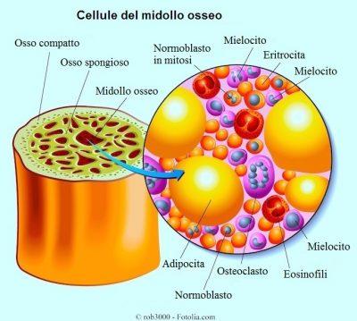 cellule del midollo osseo