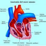 cuore-atrio-ventricolo