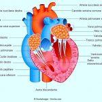 muscolo-papillare-valvole-cardiache-cuore