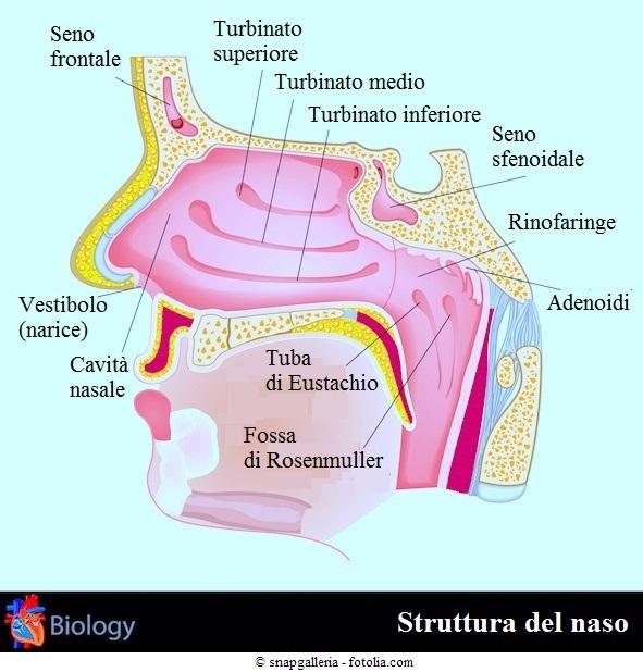 Dolore al naso cause e rimedi for Interno naso