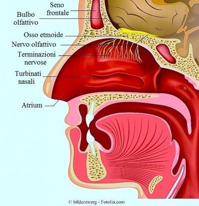 nervo-olfattivo-bulbo