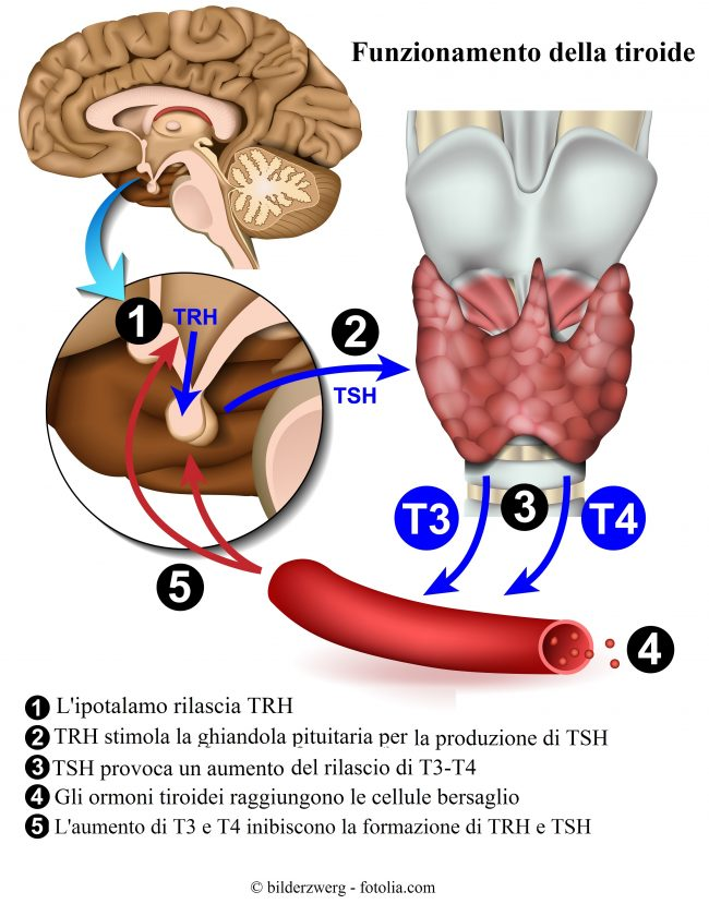 ormoni-tiroidei-tsh-t4
