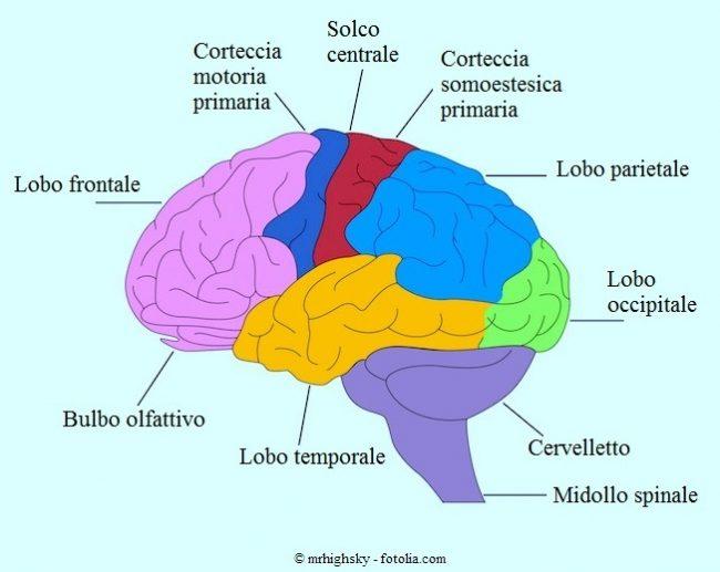 Cervello-corteccia-lobo