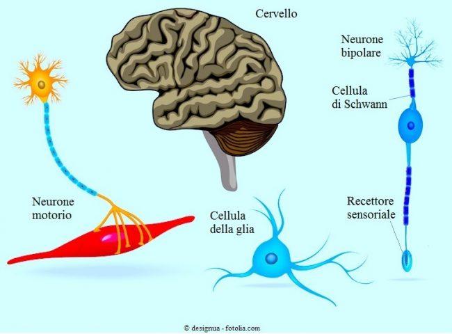 Cervello-neuroni