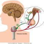 ipofisi-ipotalamo-tiroide