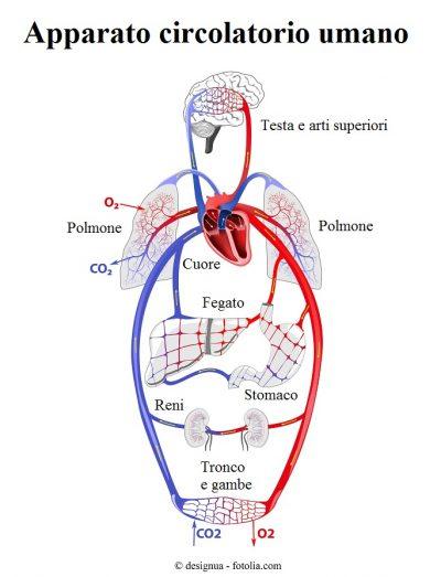 Apparato-circolatorio-cuore-polmone
