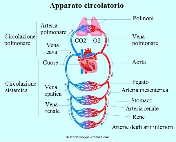 Apparato-circolatorio