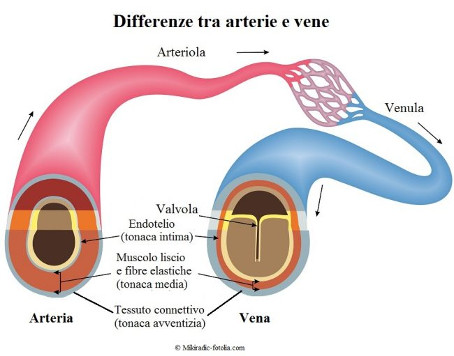 Arterie-Vene-differenza-tonaca