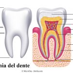Dente-smalto-dentina-radice