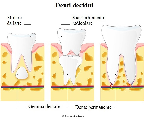 Denti-decidui-molare-latte-permanente