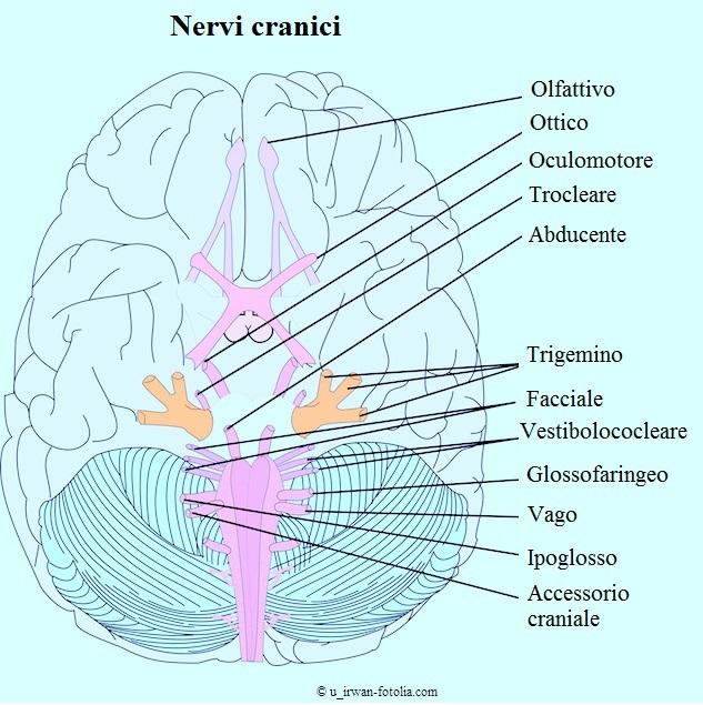 Nervi-cranici