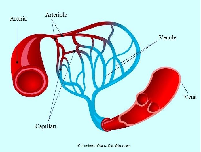 Vene-Arterie-e-Capillari