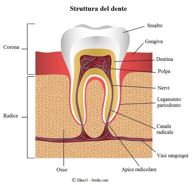 dente-corona-radice