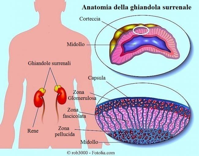 ghiandola-surrenale-corteccia-midollo