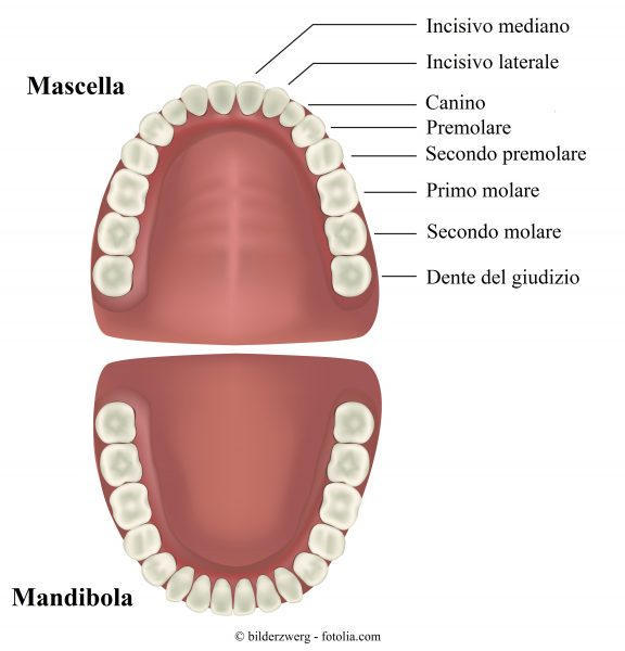 incisivi-canini-premolari-molari