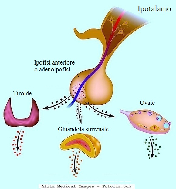 ipofisi-tiroide-ghiandole-surrenali-ovaie