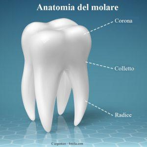 molare-corona-colletto-radice