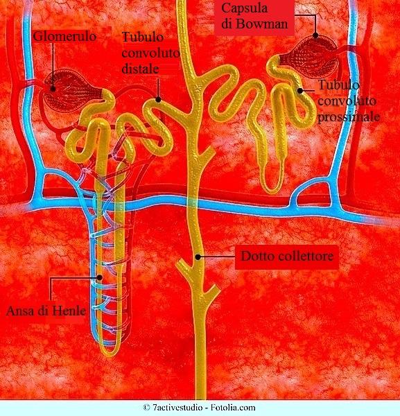 nefrone-glomerulo