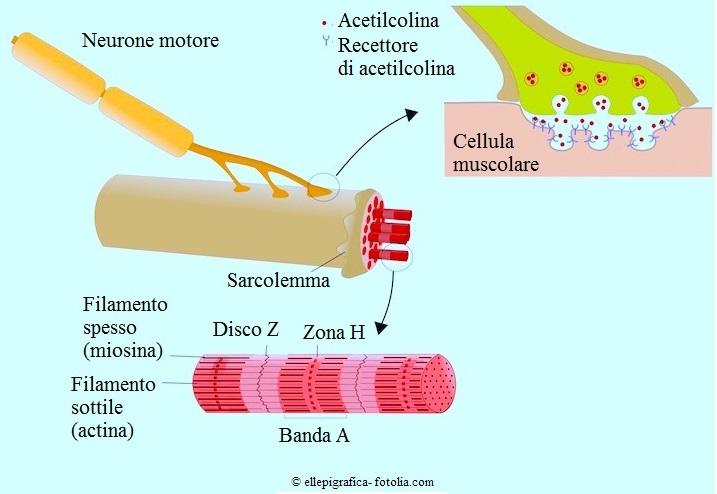 sarcomero, acetilcolina, contrazione muscolare