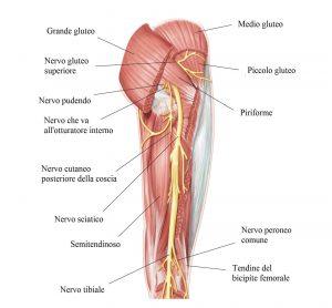 Nervo sciatico,muscoli della coscia