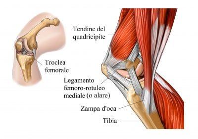 Quadricipite femorale,tendine rotuleo