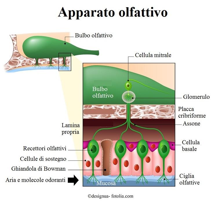 bulbo-olfattivo-recettori-ciglia